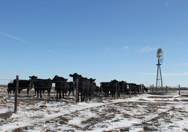 Cattle gather for a drink on a ranch in Nebraska. Some cattle producer say meatpacking companies have too much control over the market and the USDA needs stronger rules to ensure fair access.