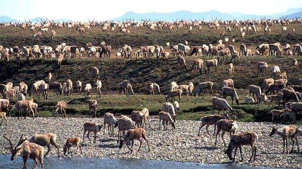 In this undated photo, caribou from the Porcupine Caribou Herd migrate onto the coastal plain of the Arctic National Wildlife Refuge in northeast Alaska. The refuge takes up an area nearly the size of South Carolina in Alaska's northeast corner.