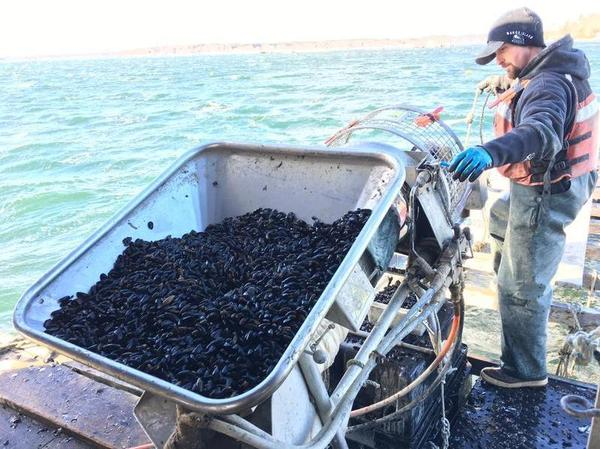Bangs Island Mussels worker Jon Gorman sets juvenile mussels onto a rope that will be their home for the next year as they grow to market size.