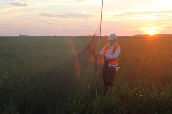 Erin Ragheb of the Florida Fish and Wildlife Conservation Commission aims to catch a Florida grasshopper sparrow as the sun rises over the central Florida prairie.