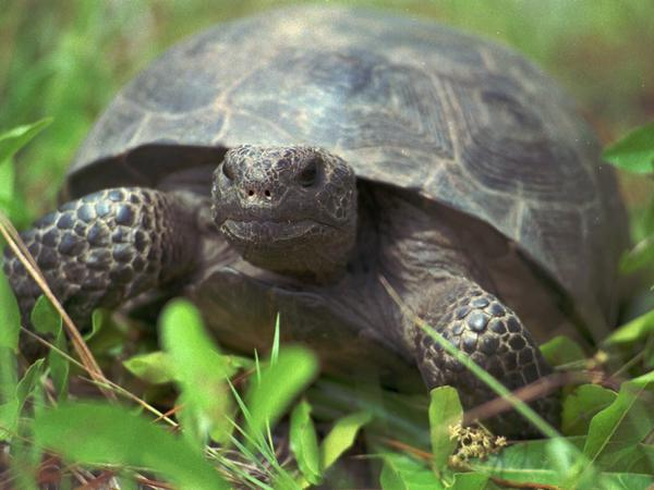 A female gopher tortoise, about 20 years old, at the Joseph W. Jones Ecological Research Center near Newton, Ga.