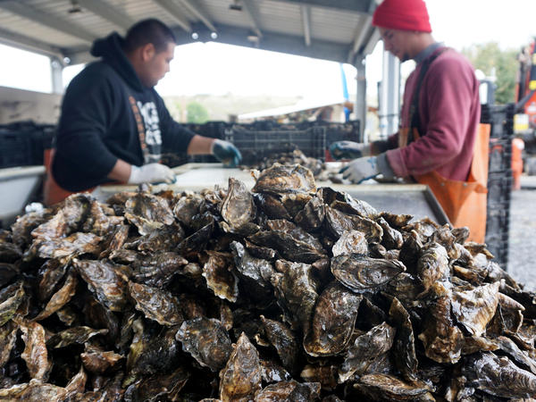 Workers sort fresh oysters at Hog Island Oyster Company near Tomales Bay, north of San Francisco.