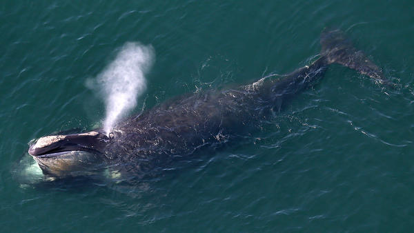 North Atlantic right whales are at risk of extinction because they often become ensnared in ropes used to guide lobster traps along the Northeastern U.S. and Canadian coastline.