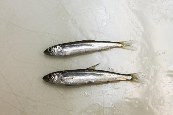 The lake herring, also called cisco, is similar to herring found in northern Europe used to make a popular caviar.