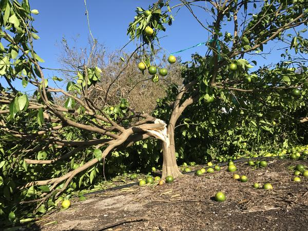 A citrus tree in a Hendry County grove after Hurricane Irma.