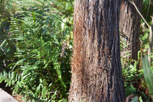 A tree shows telltale signs of bobcat scrathing at Arthur R. Marshall Loxahatchee National Wildlife Refuge on Jan. 30, 2018.