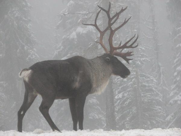 Before the 19th century, thousands of woodland caribou ranged from Washington to New England. But then those herds were decimated by overhunting, logging and broken-up habitat.