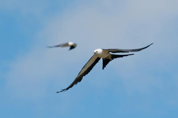 A Swallow-tailed Kite is a favorite bird of one of our panelists, Tampa Audubon Society President Mary Keith. You can view more birds often found in Florida in this slideshow.
