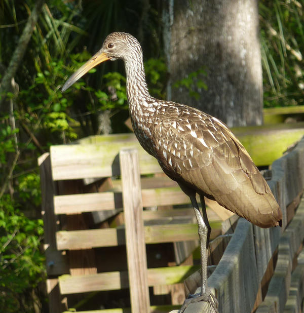 """A Limpkin, whose call some have compared to the sound of """"somebody getting strangled."""""""