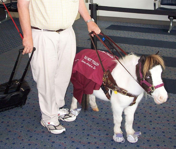 Service animals can include highly trained animals like this Shetland pony. But they need not have special training.