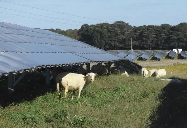 Sheep graze to keep grass down beneath the panels at a Duke Energy solar farm in Monroe.
