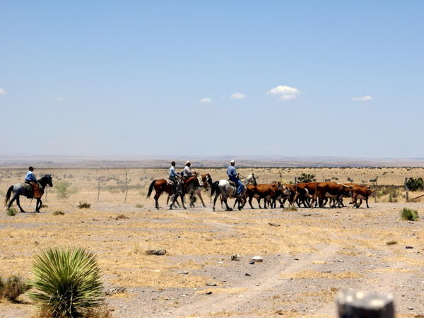 Cowboys on the MacGuire Ranch, where <em>There Will Be Blood</em> was filmed, drive Hereford cattle to the shipping pens.