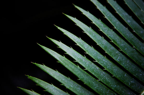 <p>A giant dioon, seen at the United States Botanic Garden, is part of the cycad family and can be found growing in Mexico and Central America.</p>