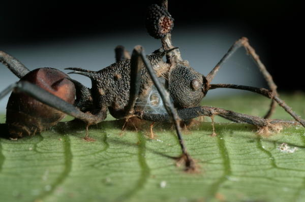A zombie ant with the brain-manipulating fungus (Ophiocordyceps unilateralis s.l.) having been castrated by an hyperparasite fungus (white with yellow material).