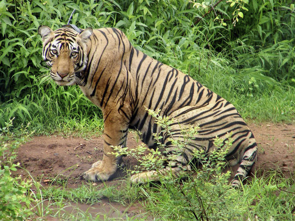 A tiger is seen in June 2008 at Sariska Tiger Reserve in the western state of Rajasthan, India, after being shifted from Ranthambore National Park. In an attempt to help revive western India's tiger population, a female tiger was airlifted to join a male at the national reserve.