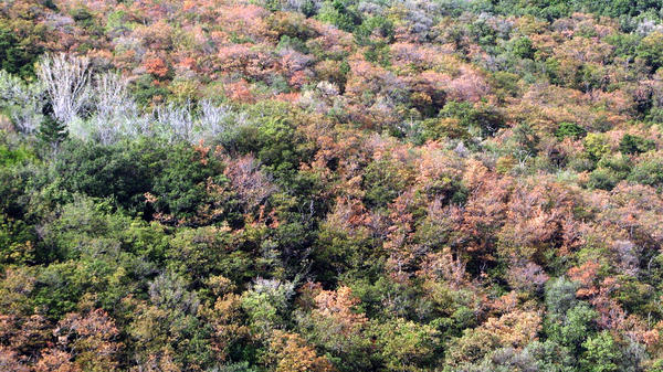 A forest near Trieste, Italy, is largely dead owing to drought stress during the summer of 2012.