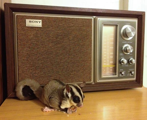 """#5: """"When he's not busy dangling Vanilla Ice off a hotel balcony, Suge Knight the sugar glider enjoys munching almonds and listening to WAMU 88.5 [Washington, D.C.]."""""""