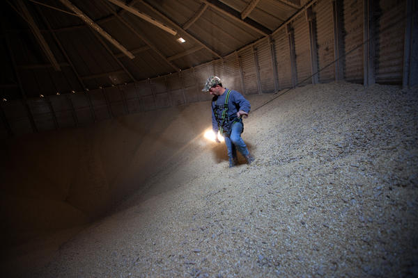 """Grain operations manager Austin Clubb, wearing a body harness for safety, gazes into the """"cone"""" inside a massive grain bin at Amana Farms in Homestead, Iowa. Cones, which can trap workers, form in the flowing grain as it's drained from bins."""