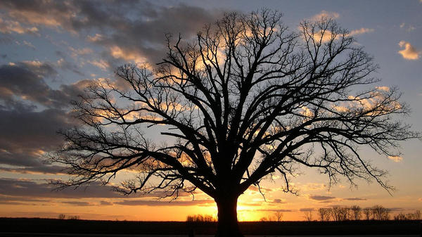 """This bur oak, called """"The Big Tree"""" by Missouri locals, has been around for centuries. When a drought hit the state last year, the community came together to offer help and water for the iconic tree."""