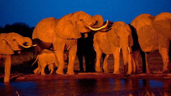 Elephants gather at dusk to drink at a watering hole in Kenya.