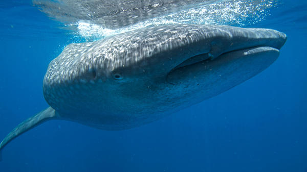 A whale shark dives near the surface in waters off the coast of Mexico.