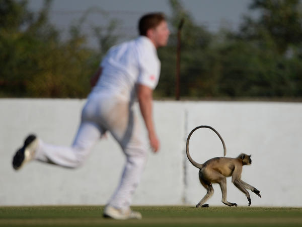 A monkey invades the field during a cricket match in Ahmedabad, India, in 2012.