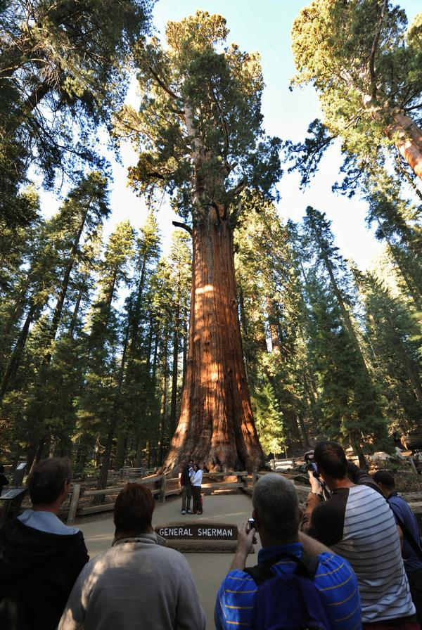 The General Sherman, a giant sequoia in California's Sequoia National Park, is more than 2,000 years old, and is thought to be the largest tree (by volume) in the world.