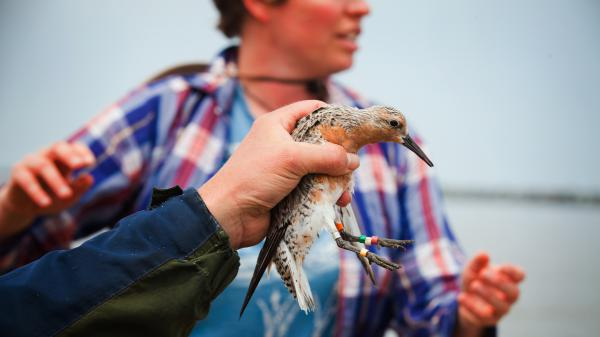Guided by biologists, volunteers briefly catch, band and release some of Delaware's visiting red knots each spring to monitor the health of the species.