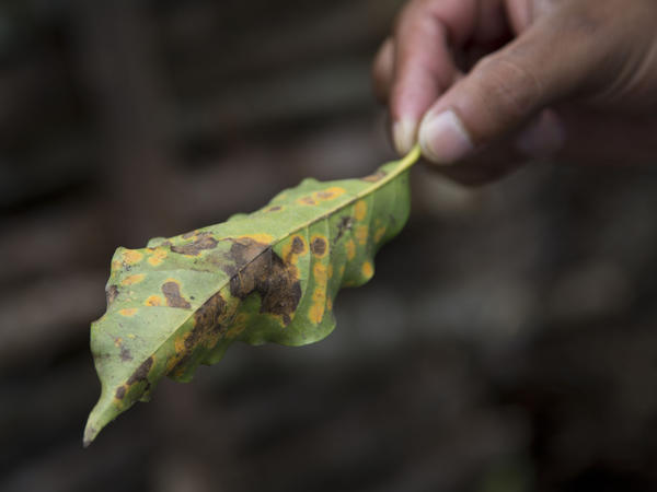 A coffee leaf damaged by coffee rust fungus in Ciudad Vieja, Guatemala, in May. The airborne disease strikes coffee plants, flecking their leaves with spots and causing them to wither and fall off.