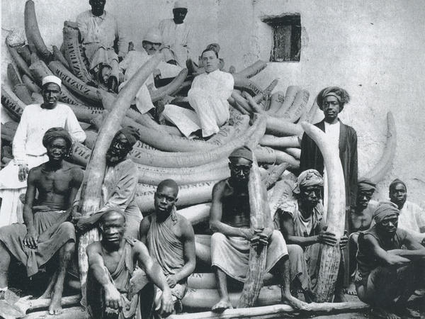 E.D. Moore, ivory buyer for Pratt, Read, reclines atop Zanzibar's largest shipment of tusks — 355 tusks weighing 22,000 pounds, circa 1890-1910.