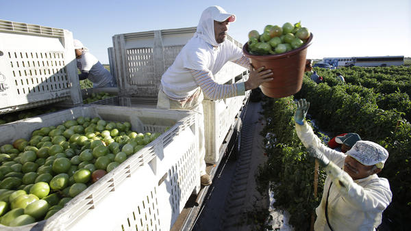Farm workera at Lipman Produce load tomatoes on a truck on Jan. 16, 2014 in Naples, Fla. Wal-Mart Stores Inc. joined an initiative that will require its Florida tomato suppliers to increase farm worker pay and protect workers from forced labor and sexual assault, among other things.