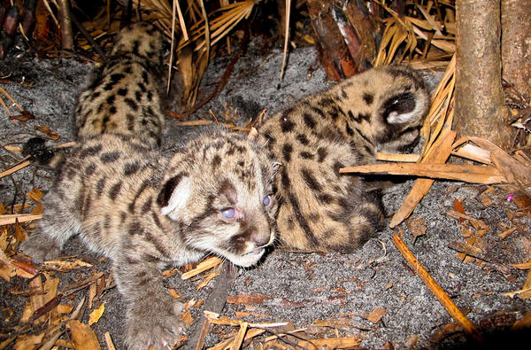 Panther cubs in rural Collier County. Florida officials estimate there are now at least 180 Florida panthers living in the state.