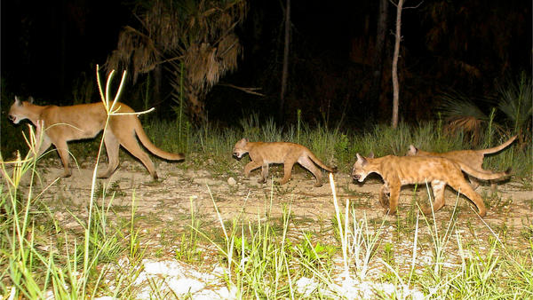 Panthers roam in rural Collier County, in southwest Florida. As the Florida state animal's population has grown, wildlife officials may seek to take the panther off the endangered species list.