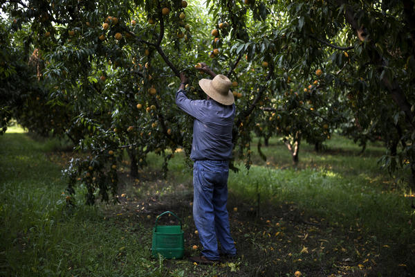 A worker picks clingstone peaches in Greece. Most of the country's farms are small and family owned. Production costs can be high, and Greek farmers have had trouble competing internationally.