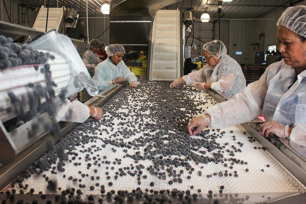 Final inspection of frozen blueberries at the Atlantic Blueberry Co.