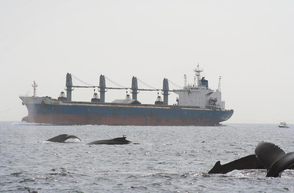 Humpback whales and tanker in Stellwagen Bank National Marine Sanctuary in Massachusetts Bay.
