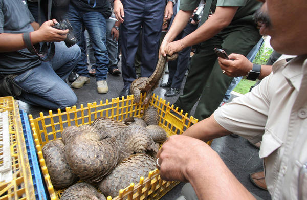 Indonesian officials show live pangolins confiscated from suspected smugglers in 2013.