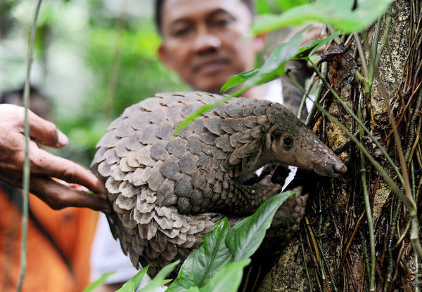 A pangolin is released into the wild by officials at a conservation forest in Indonesia in 2013. The animal was among 128 pangolins confiscated by customs officers from a smuggler's boat off Sumatra.