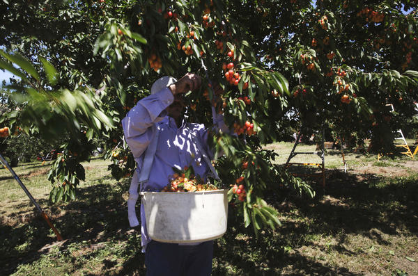 A worker harvests Royal Ann cherries for Oregon Cherry Growers at the Cooper Family Orchard in The Dalles, Ore., in 2014.