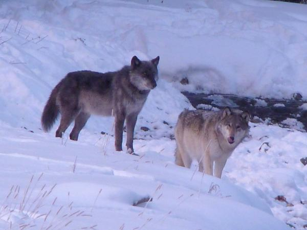 """The famous Lamar Pack alpha female """"06,"""" right, with her mate """"755"""" before her shooting death."""