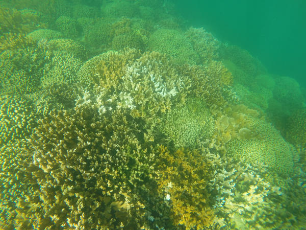 Partially bleached coral in Kaneohe, Hawaii. Coral reefs worldwide are at risk of damage from the suncscreen ingredient oxybenzone.