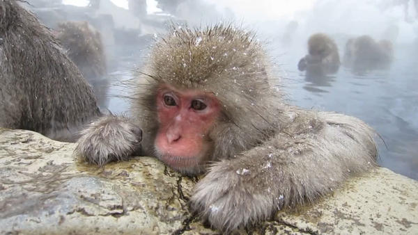 When snow monkeys get cold, their goose bumps fluff up their hair, trapping an insulating layer of air.