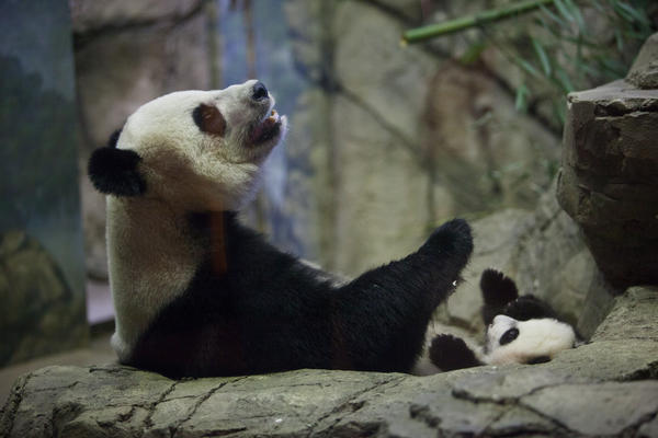 Giant panda Mei Xiang and her cub Bei Bei interact Wednesday at the zoo.