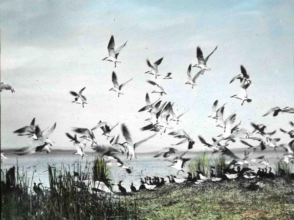 A flock of Caspian terns takes flight in this hand-colored 1908 photo.