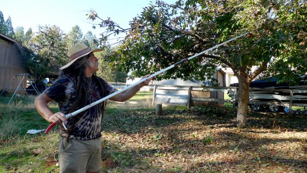 Amigo Bob Cantisano harvests persimmons at what was once a stagecoach stop near the small town of Camptonville, Calif.