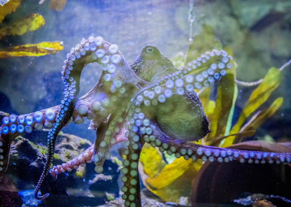 This undated image provided by The National Aquarium of New Zealand shows Inky the octopus swimming in a tank at the National Aquarium of New Zealand in Napier, New Zealand.  Inky the octopus escaped the National Aquarium of New Zealand for the Pacific Ocean. (The National Aquarium of New Zealand  via AP)