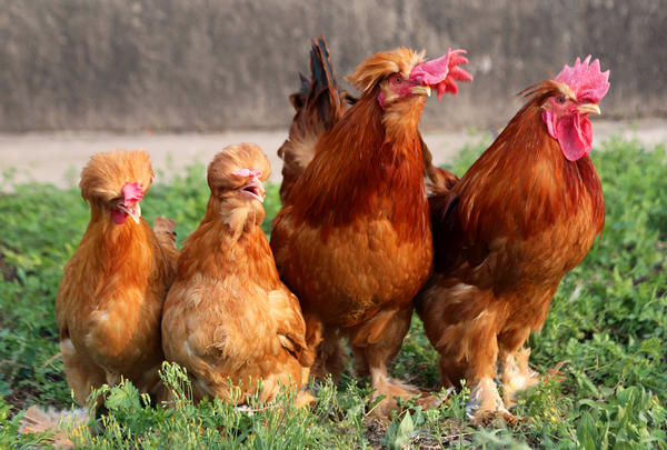 <strong>When you've got it, flaunt it:</strong> Beards can occur in various chicken breeds. The birds in the middle have them; the ones on the far left and right don't.