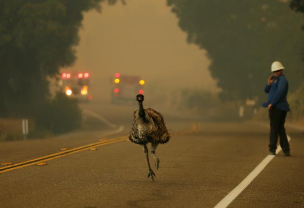 An emu runs to escape an approaching wildfire near Potrero, Calif., on Monday.