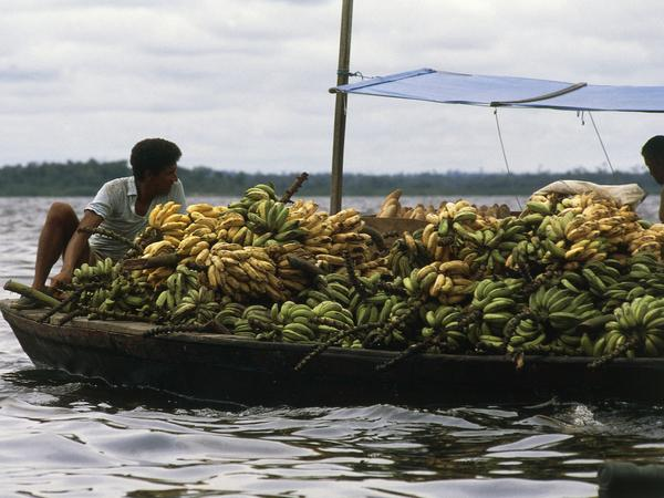 Boat loaded with bunches of bananas in Manaus, The Amazon rainforest, Brazil.