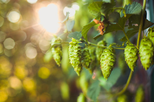 The spike in demand for small-batch beers has infused new life into small, family owned hop farms that were teetering on the edge of bankruptcy.